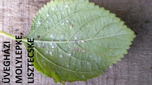 lisztecske, üvegházi molylepke