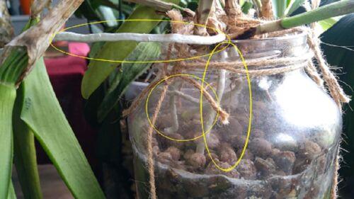 orchidea gyökér mentés